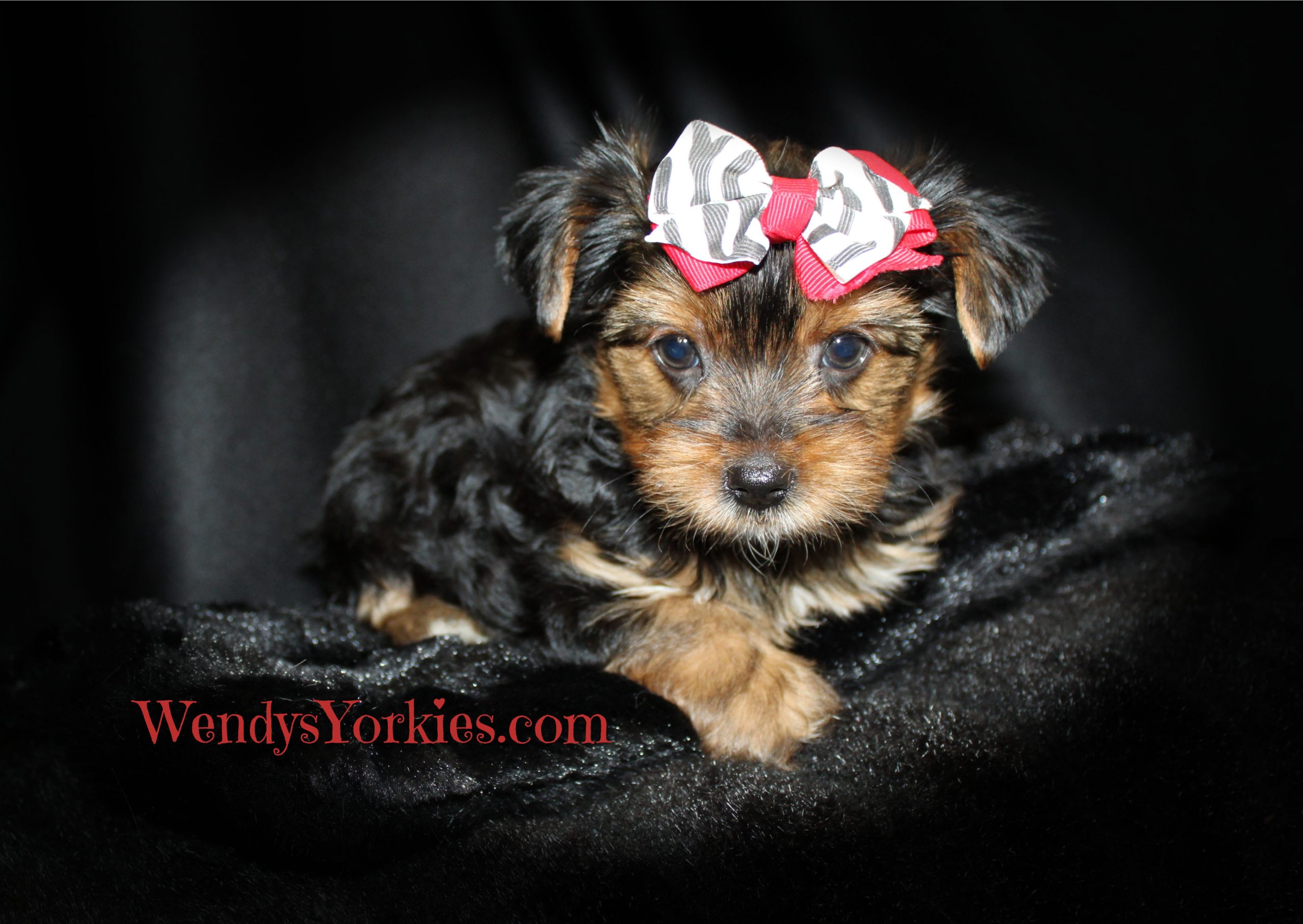 Male Yorkie puppy for sale, Hottie M1, WendysYorkies.com