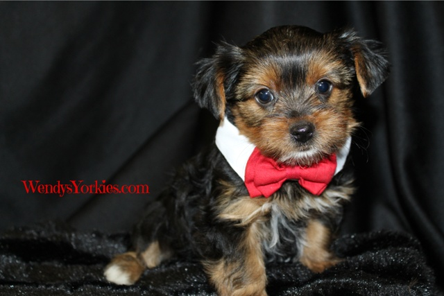 Male Yorkie puppy for sale in Texas, Hottie m1, WendysYorkies.com
