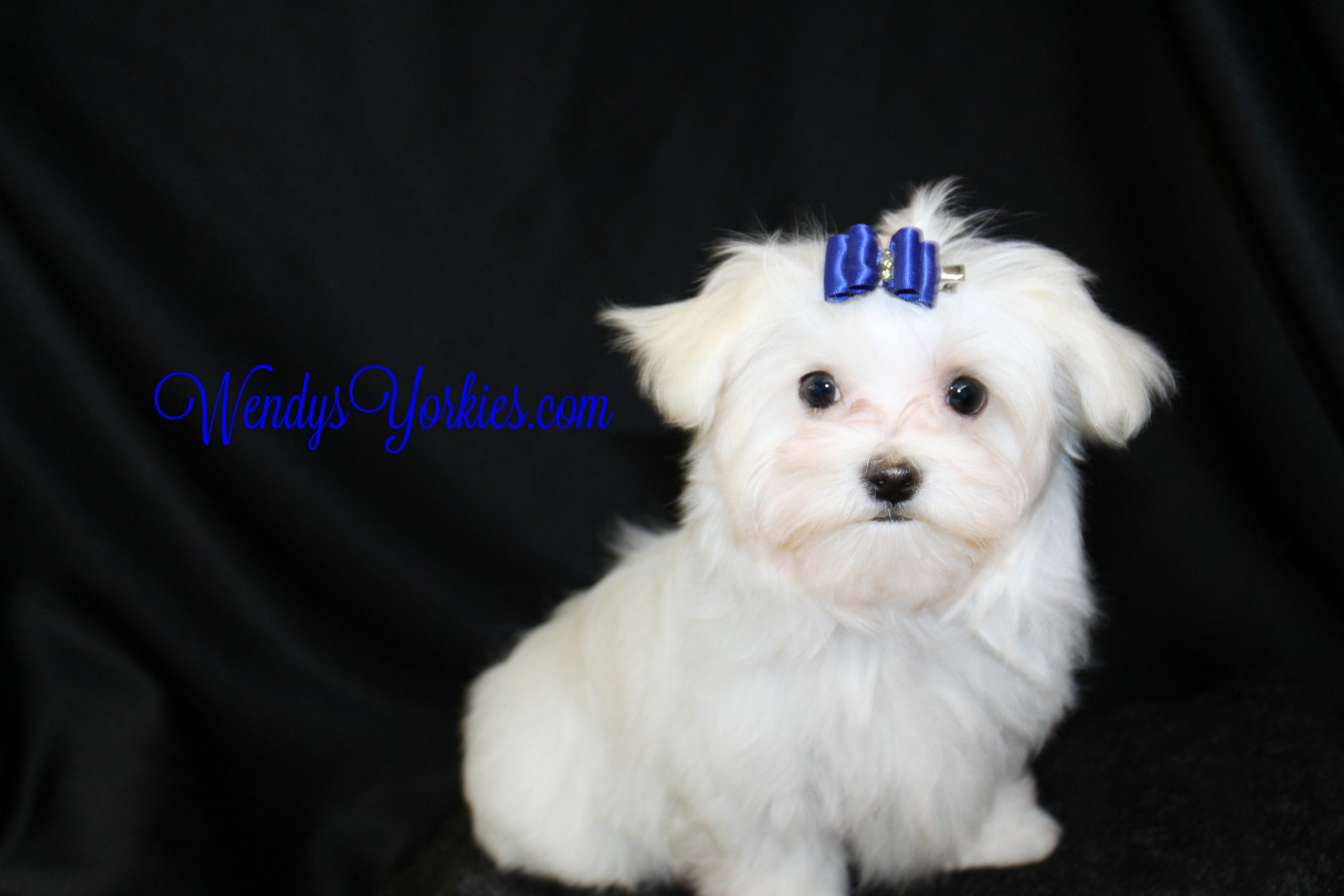 Maltese Puppy for sale in Texas, QuinnDillon, WendysYorkies.com