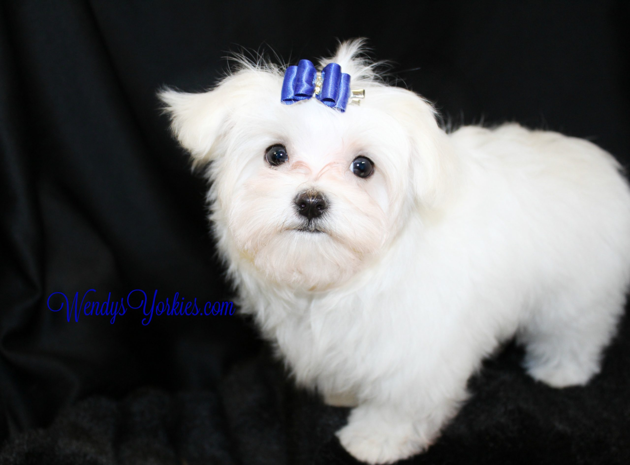 Maltese puppy for sale in Texas, QuinDillon, WendysYorkies.com