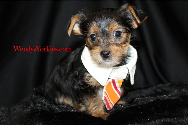 Yorkie puppy for sale in Texas, Hottie m2, WendysYorkies.com