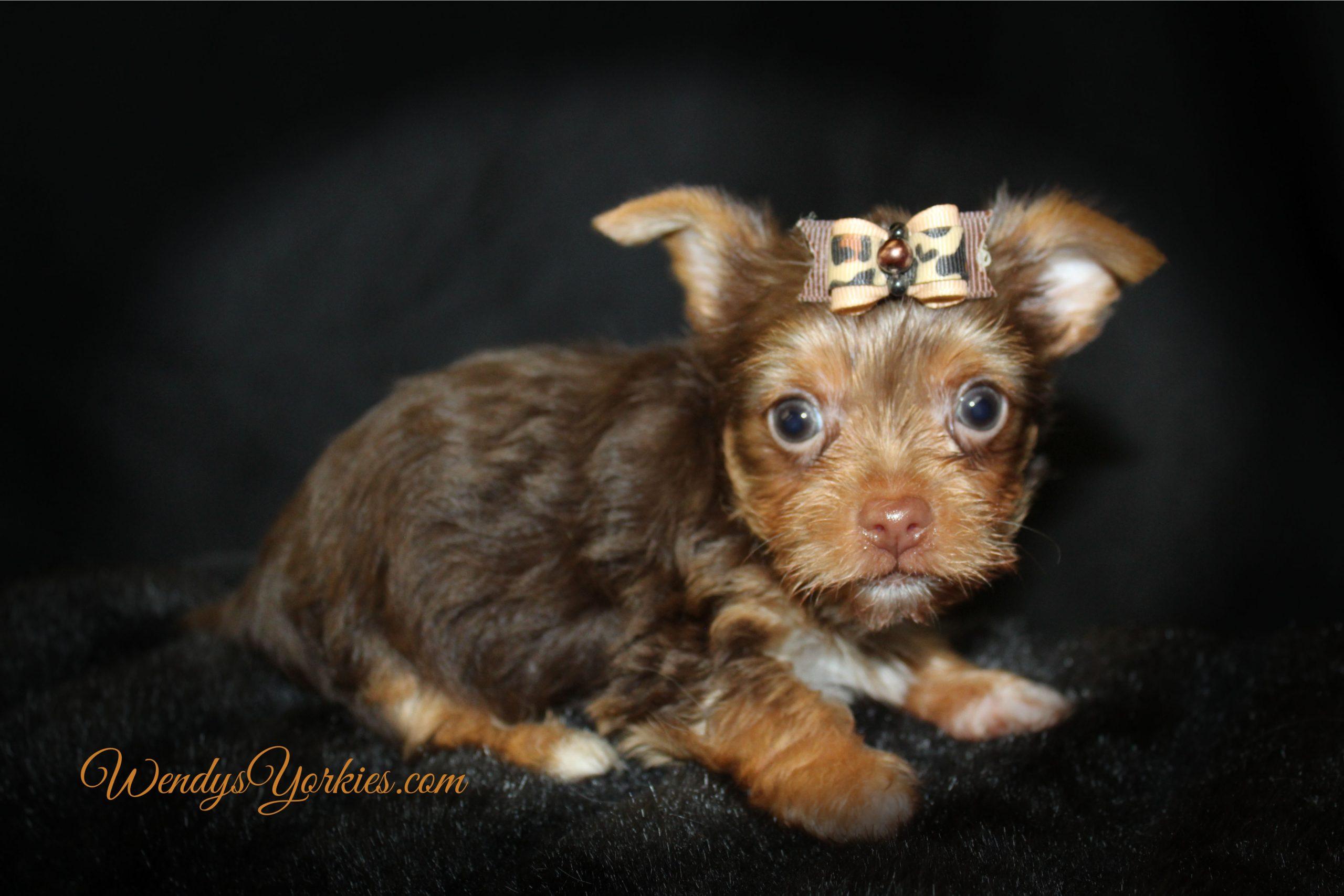 Chocolate Yorkie puppy, Lexie CM1, WendysYorkies.com
