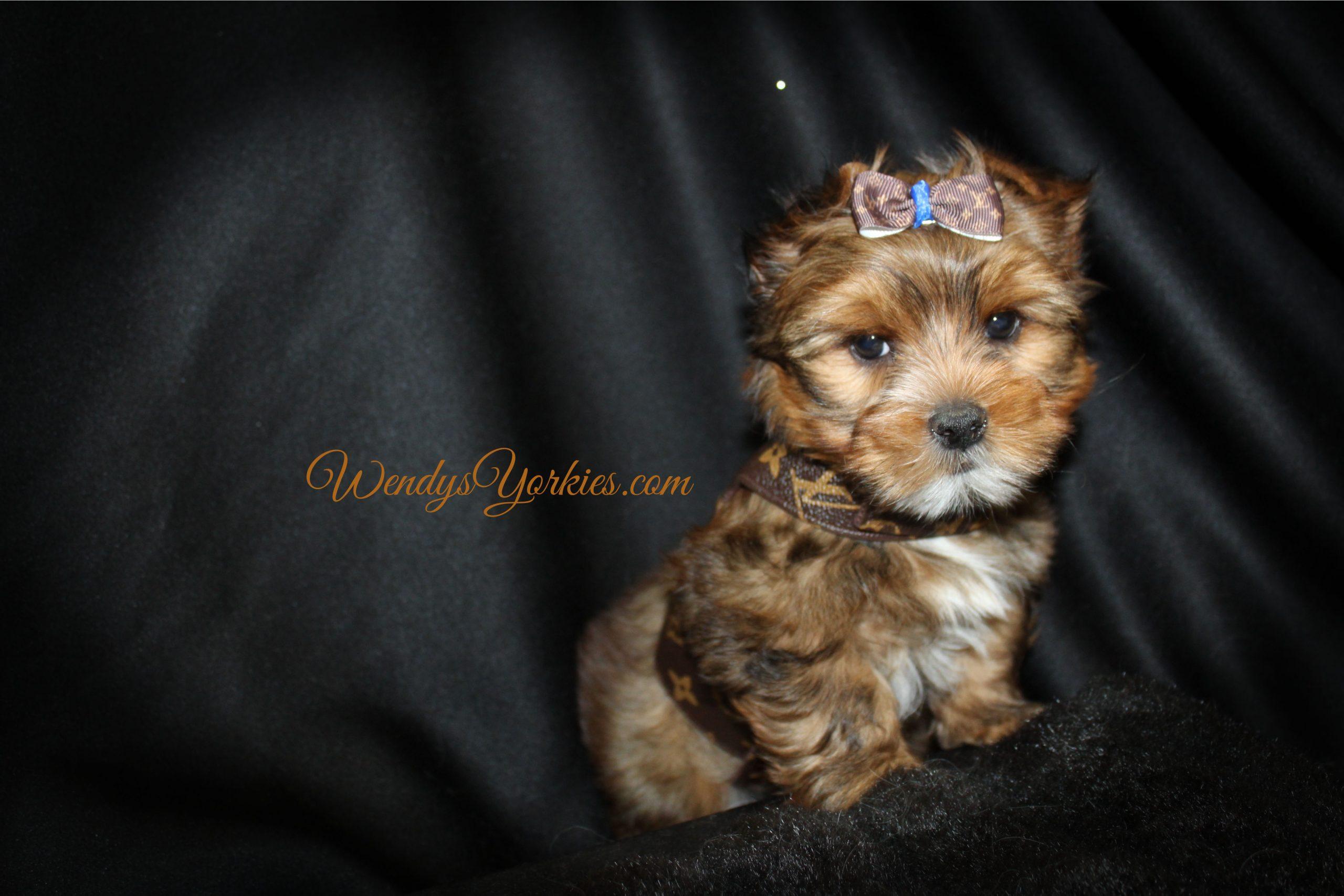 Blonde YOrkie puppy for sale in Texas, Reese m1, WendysYorkies.com