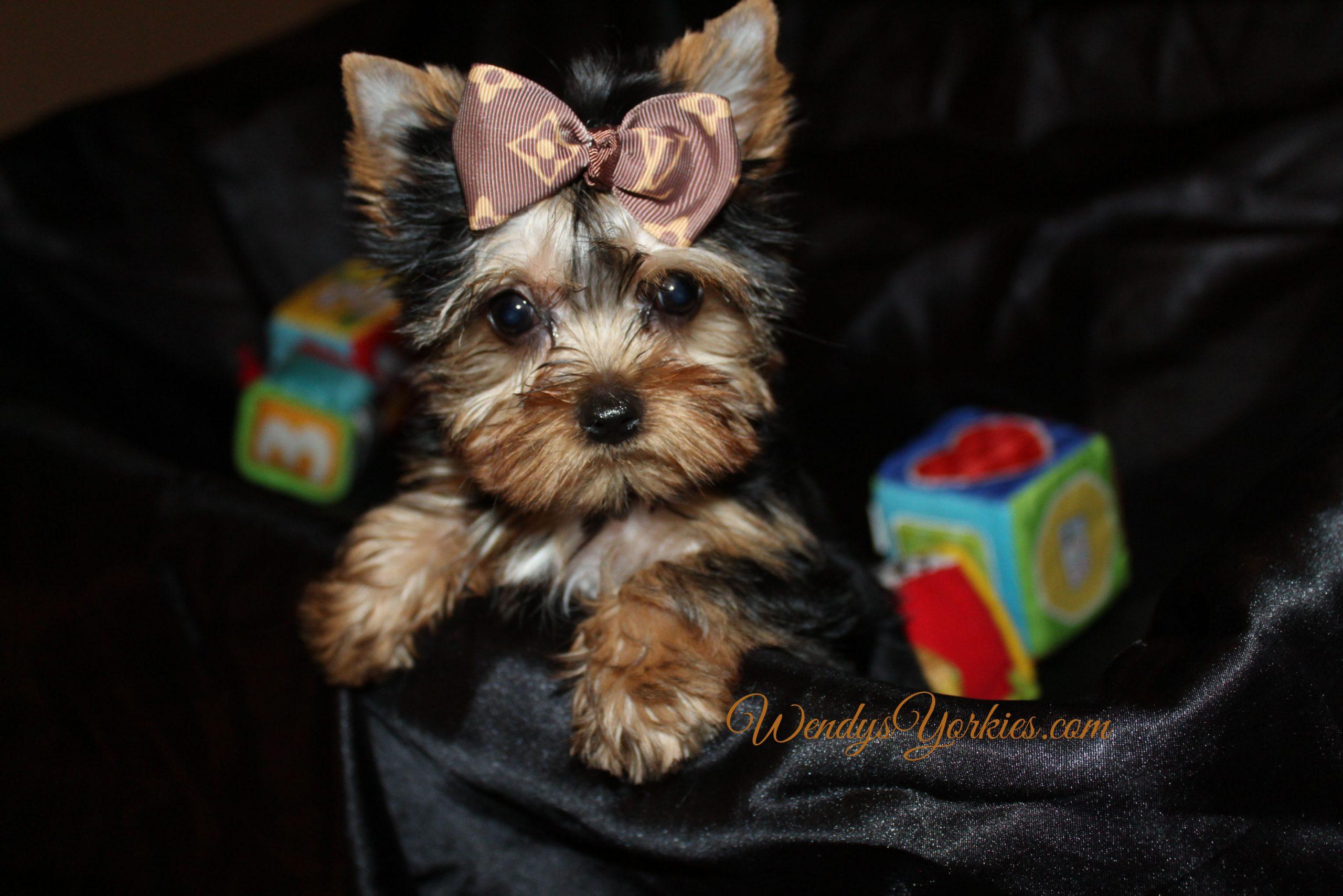Tiny Yorkie puppy for sale, Teddy Bear, WendysYorkies.com