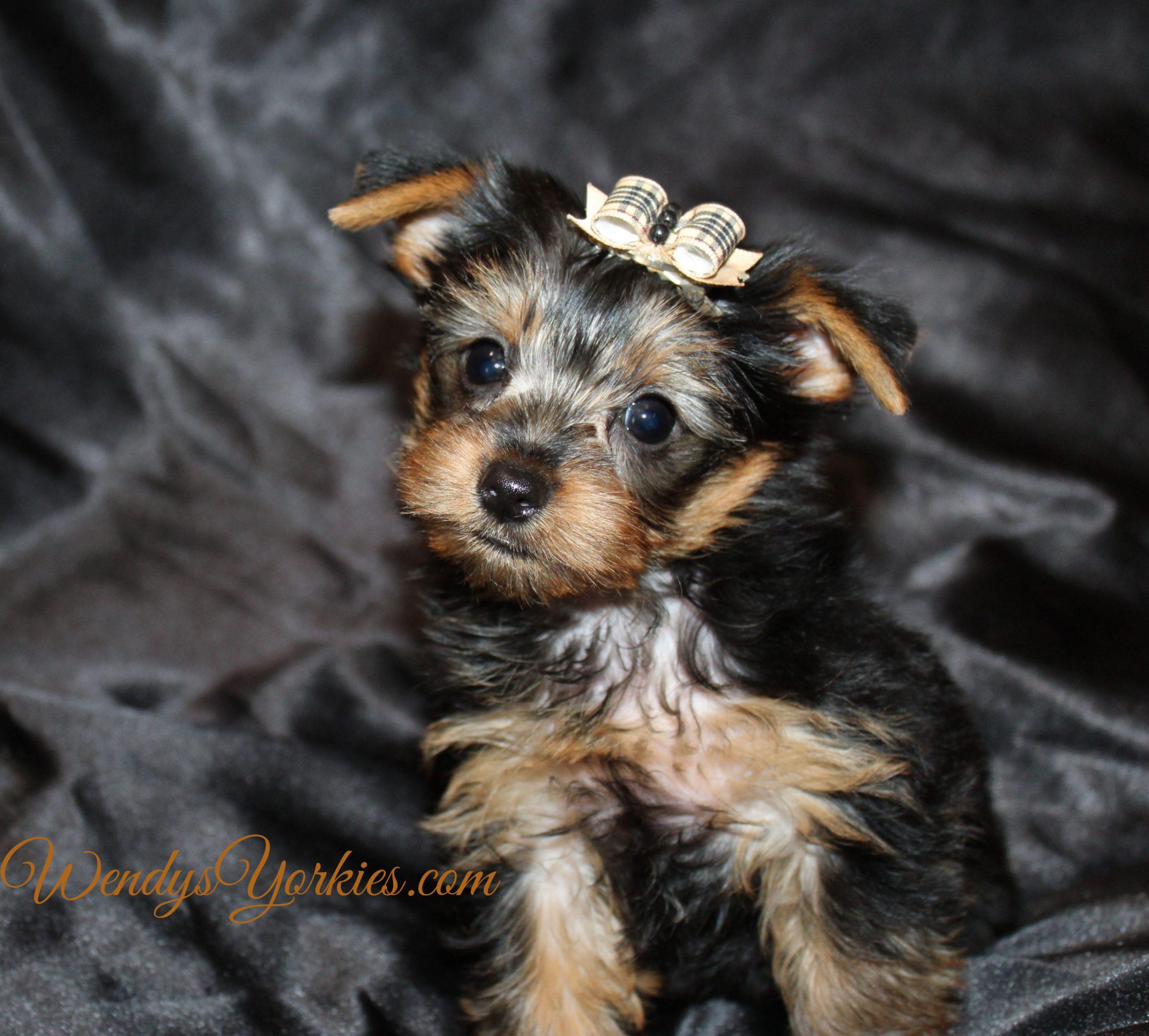Yorkie puppy for sale in Texas, m1, WendysYorkies.com