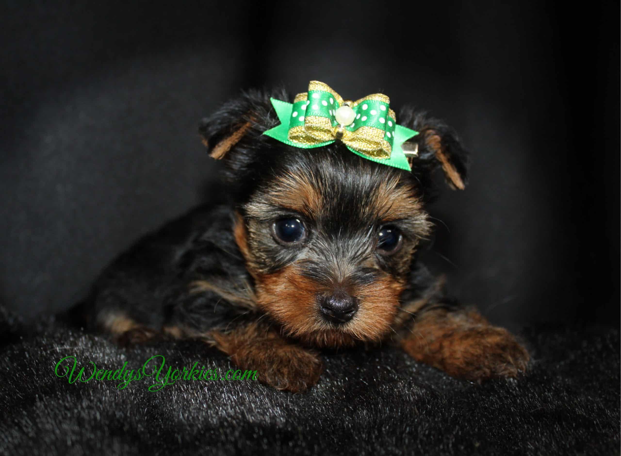 Male yorkie puppy, Mercedes m3, WendysYorkies.com