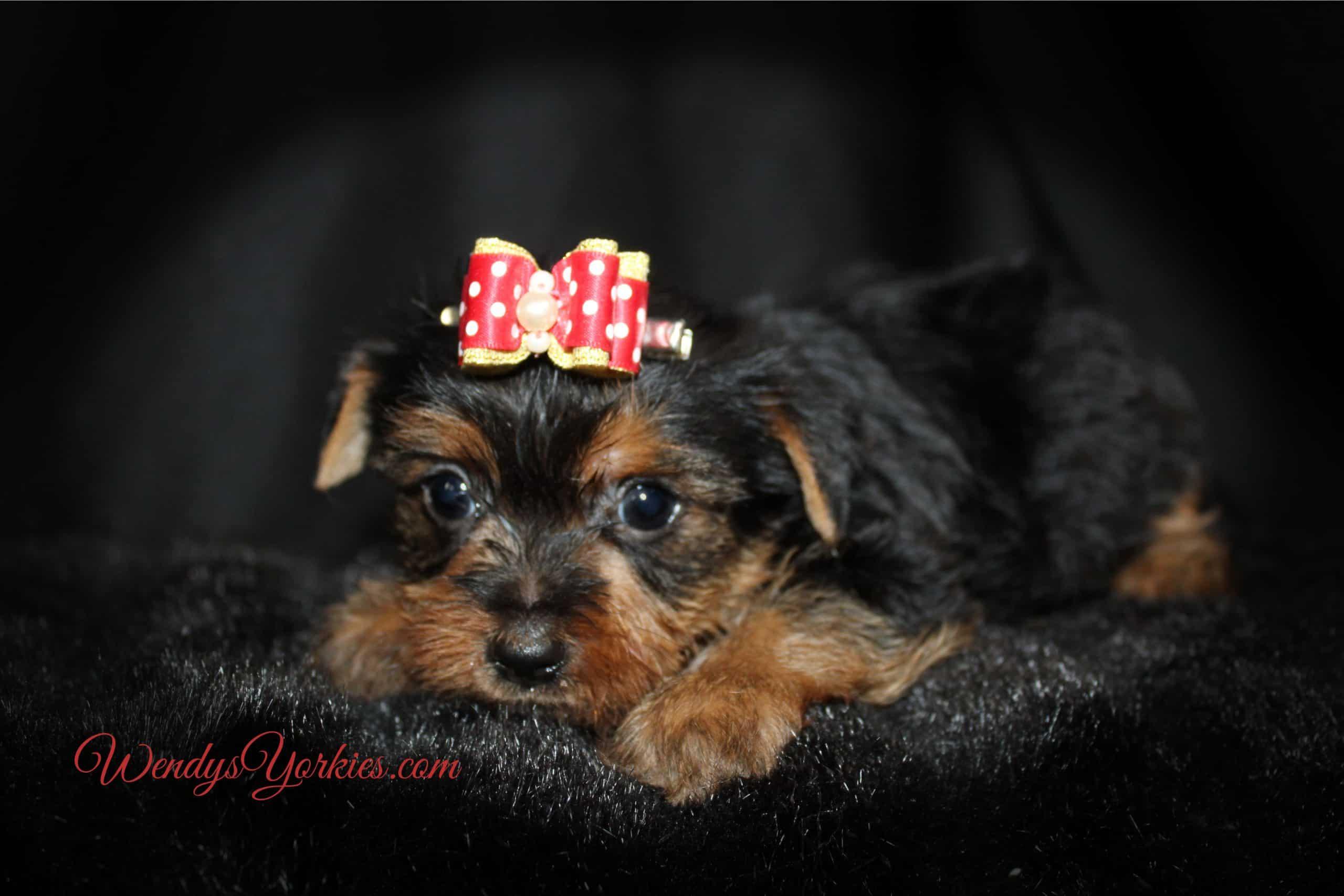 Yorkie puppy for sale, Mercedes m1, WendysYorkies.com
