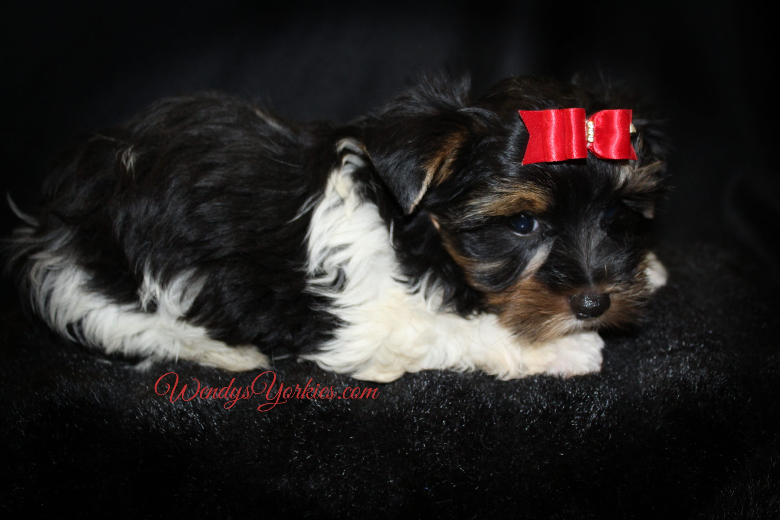 Male Parti Yorkie puppy for sale, Shi m1, WendysYorkies.com
