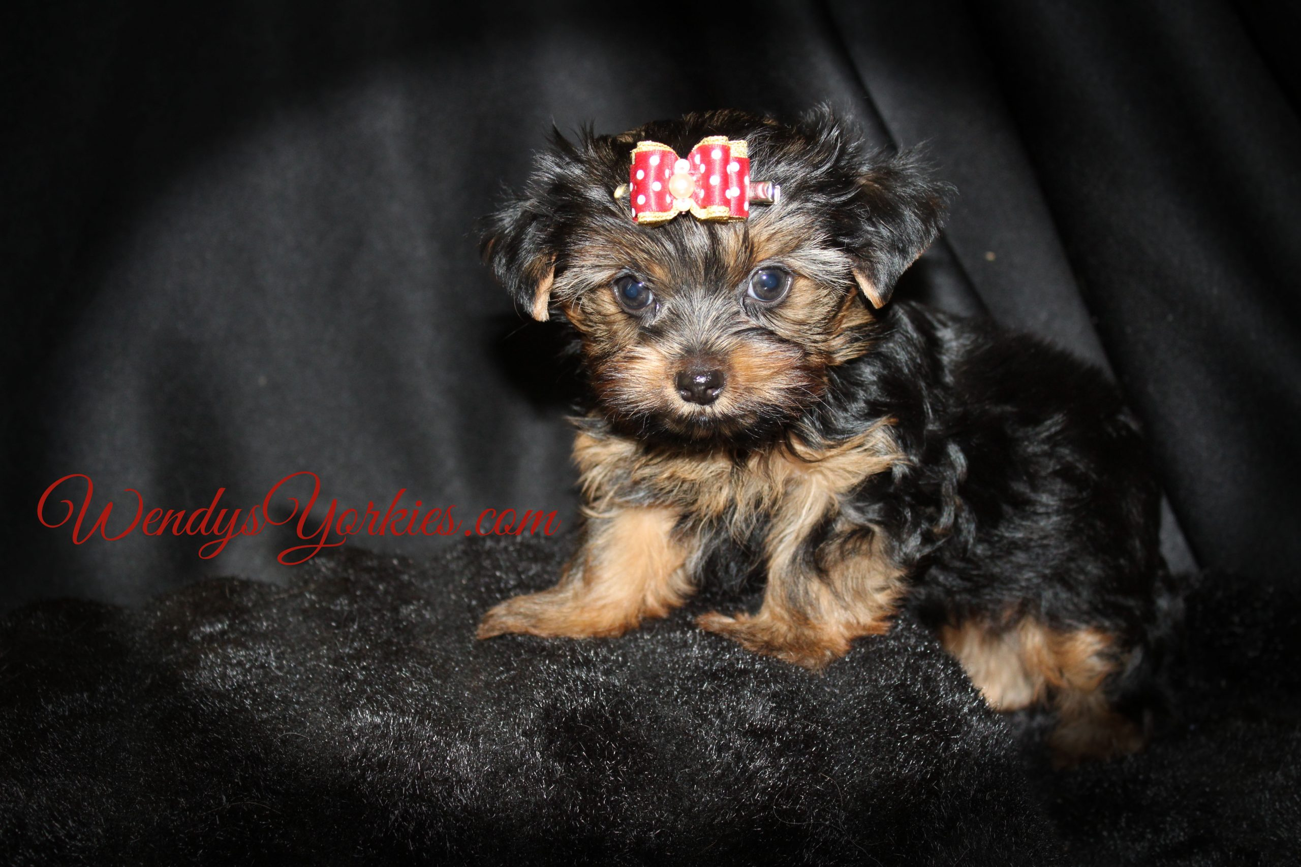 Male YOrkie puppy for sale in Texas, Dixie tm1, WendysYorkies.com