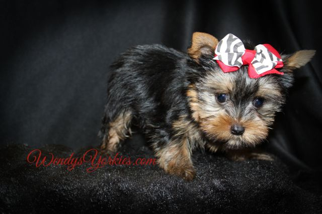 Tiny Male Yorkie puppy for sale, Dayle m2, WendysYorkies.com