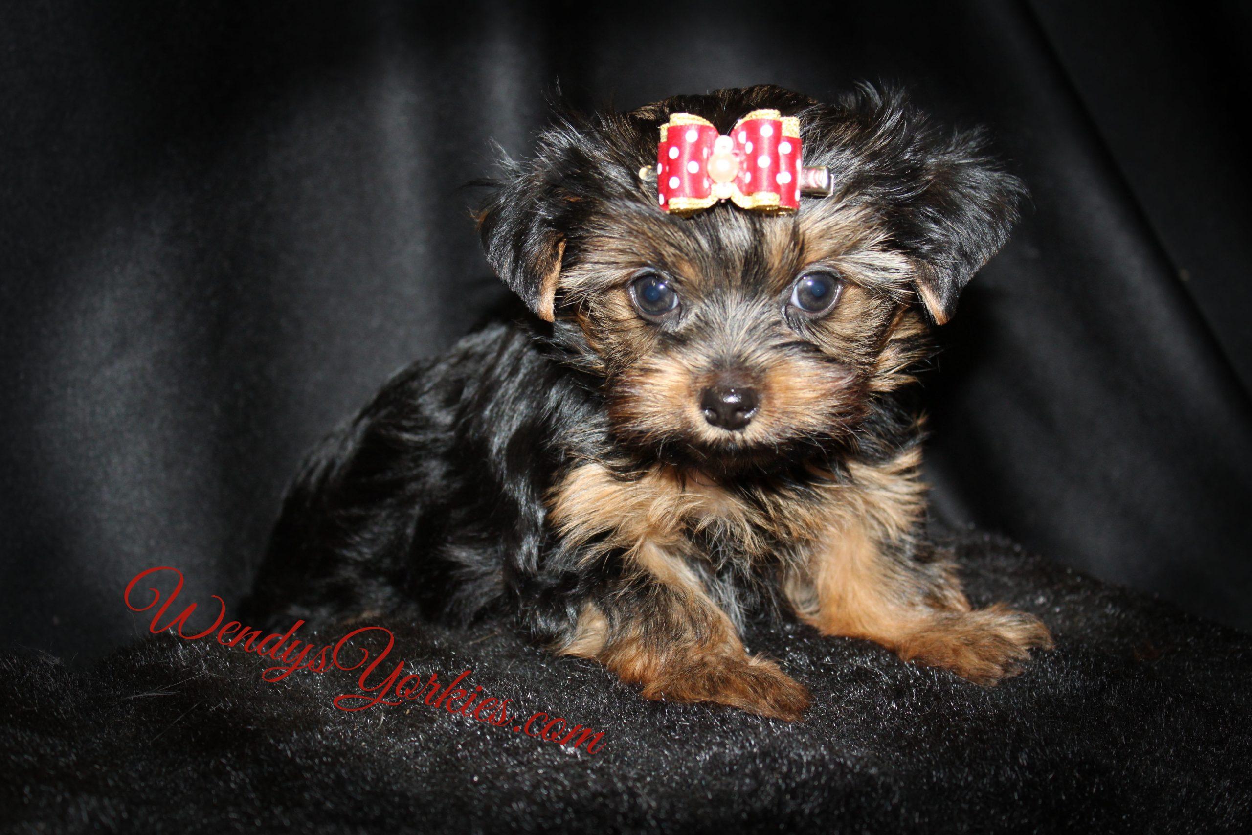 Tiny Yorkie puppy for sale, Dizie tm1, WendysYorkies.com