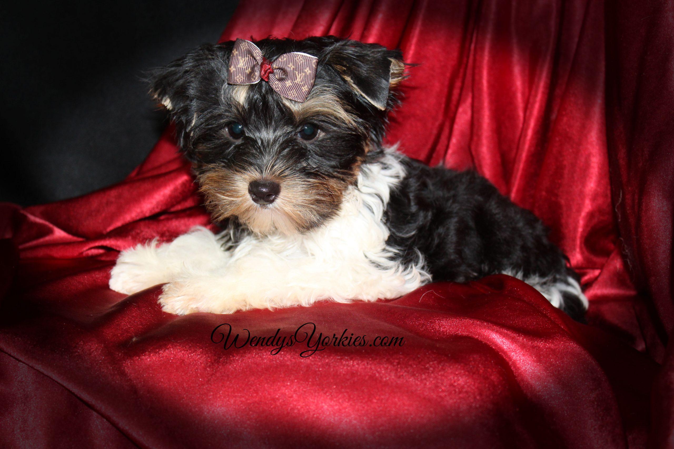 Male Parti yorkie puppy, Shi pm1, WendysYorkies.com