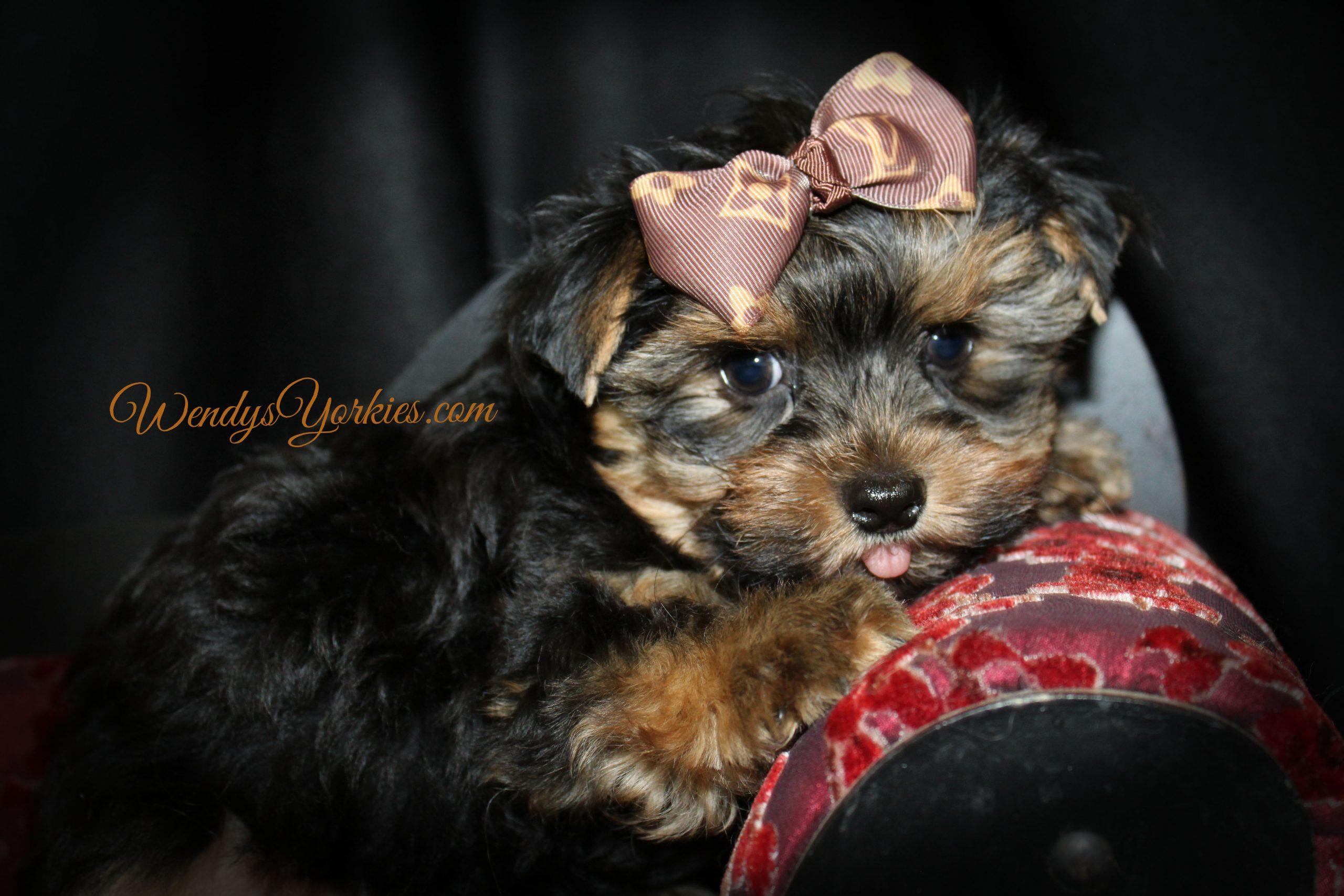 Male Yorkie puppy Bree Ruger 1, M1, WendysYorkies.com