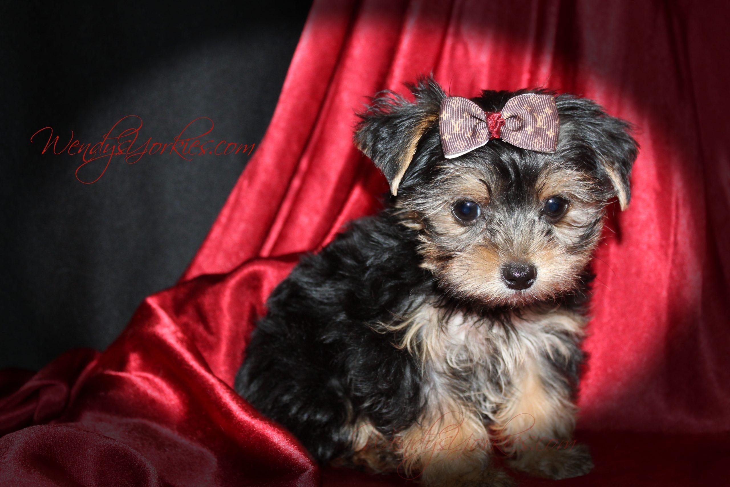 Yorkie puppy for sale, Phoebe m2, WendysYorkies.com