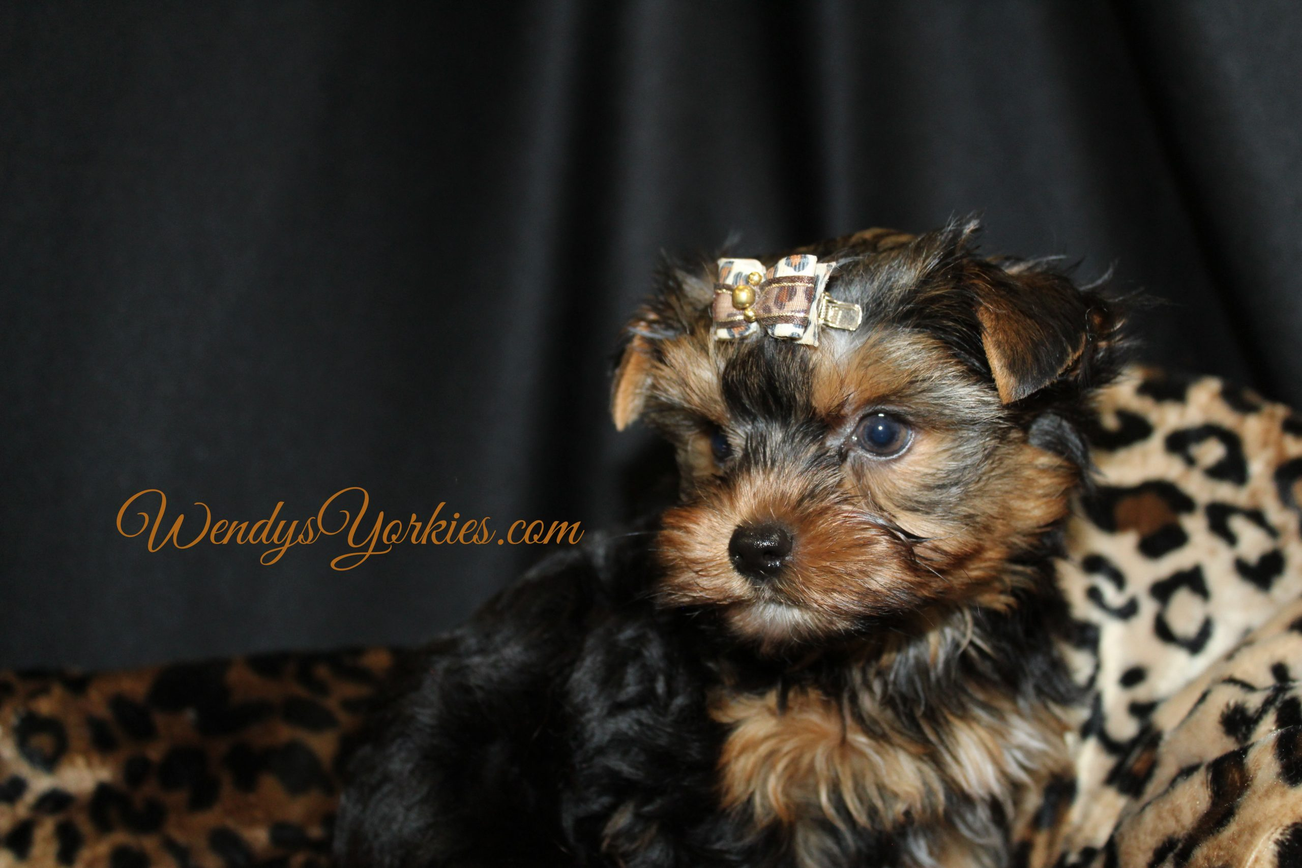 Yorkie puppy for sale in Texas, Bree & Ruger m2, WendysYorkies.com