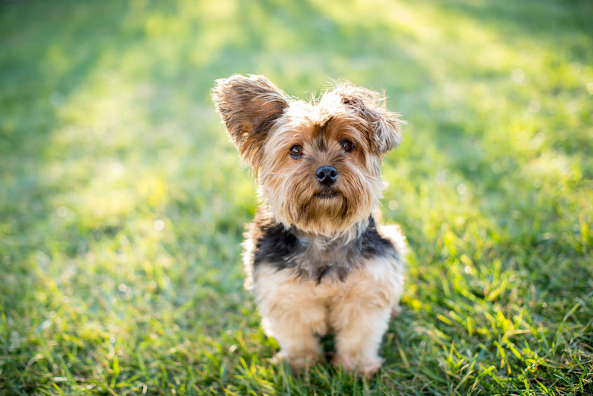 How to Potty Train Your Yorkie Puppy